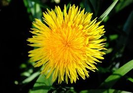 yellow fluffy dandelion close-up