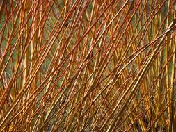 willow branches close up