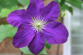 bright purple clematis closeup