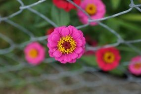 pink yellow zinnia flower in metal fence