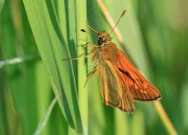 tiny orange butterfly on the blade of grass