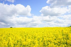 field of yellow rapeseeds sky clouds view
