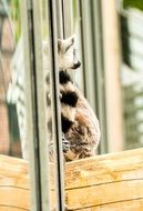ring tailed lemur sitting by the window