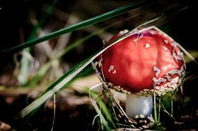 fly agaric red mushrooms
