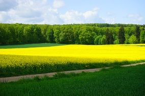 field of yellow rapeseeds green forest aback