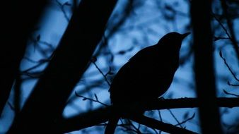 blackbird in the night forest