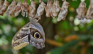 Butterfly on a cocoon