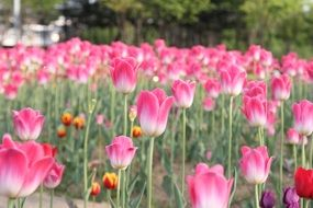 field of the pink tulips