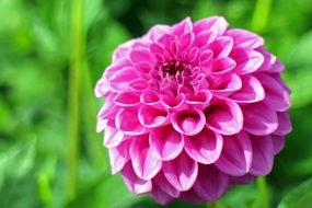 Pink dahlia flower on a background of green foliage