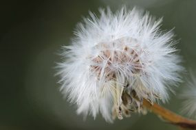 white fluffy summer dandelion