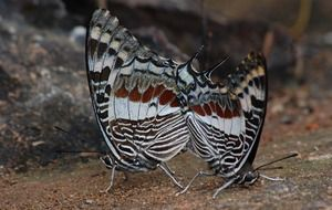 Macro picture of pair of butterflies