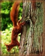 red squirrel climb down trunk