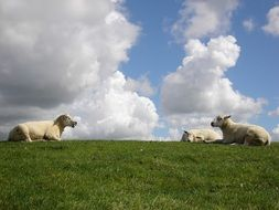 sheep rest, netherlands