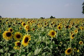 Field of sunflowers on a sunny day