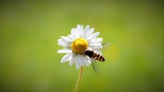 flying insect on white daisy