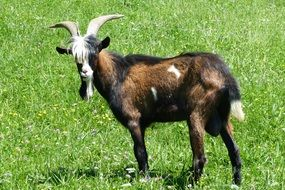horned billy goat