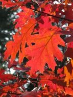 red oak leaves at autumn forest