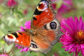 Beautiful colorful peacock butterfly on the flowers on the meadow in summer