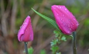 Two pink tulips in drops of water