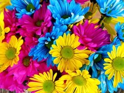 multicolored gerberas