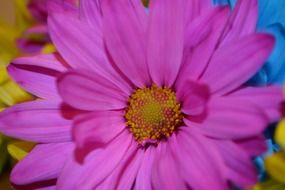 Pink daisy close-up