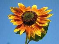 bright sunflower on a stem against a clear sky