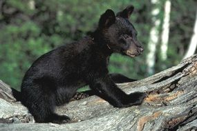 little black teddy bear in the wild