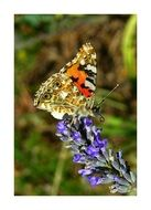 painted lady butterfly on lavender