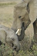 elephants, mother and baby