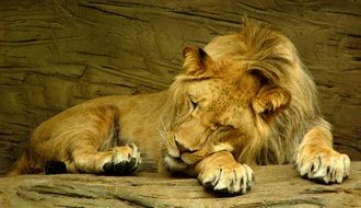 lion sleeping on stone in zoo