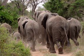 Rear view of a herd of elephants on the move