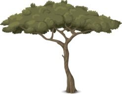 Drawing of tree with thin trunk and deep green foliage
