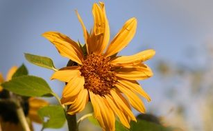 yellow sun flower in summer time