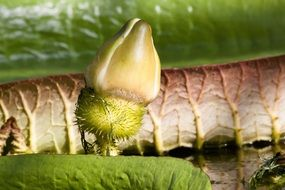 green bud water lily