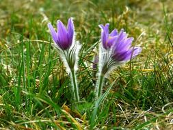 common pasque flower in the spring