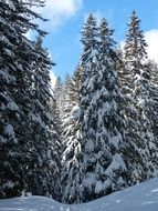 Snow-covered fir trees on a sunny day