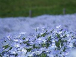 Blue nemophila flowers in the park