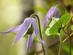 bowed purple clematis flowers