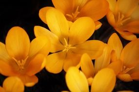 Yellow crocuses on a black background
