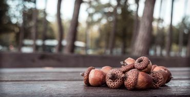 Acorns on the wood in autumn