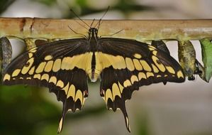 swallowtail butterfly and cocoons