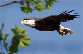 soaring majestic bald eagle