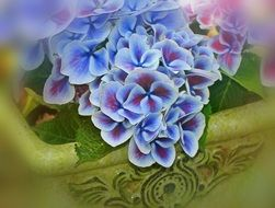 hydrangea is a bright ornamental shrub