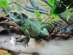 big green lizard is a reptile
