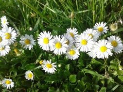 fine white daisies on spring meadow