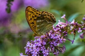 butterfly sitting on the purple lilac flowers