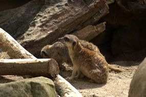 a meerkat family sits by a hole