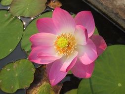 Pink lotus flower on green leaves in a pond