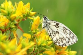 white butterfly on yellow flower