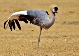 gray crowned crane in wild, tanzania